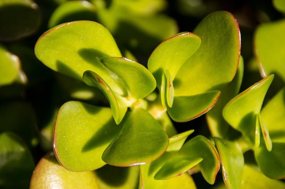 planta de interior árbol de jade