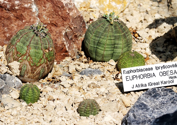 Euphorbia_obesa_plantas crasas