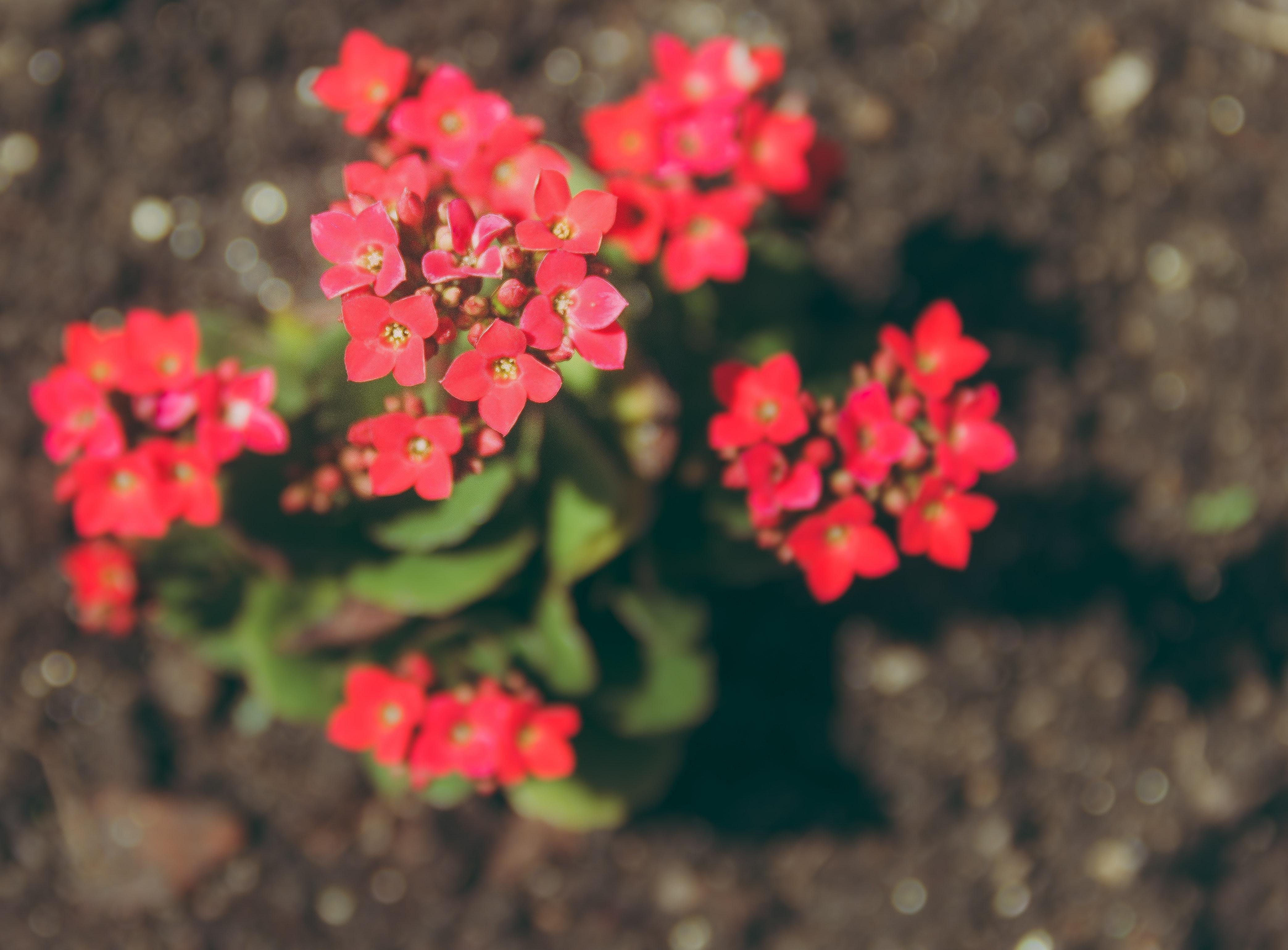 plantas de interior con flor kalanchoe