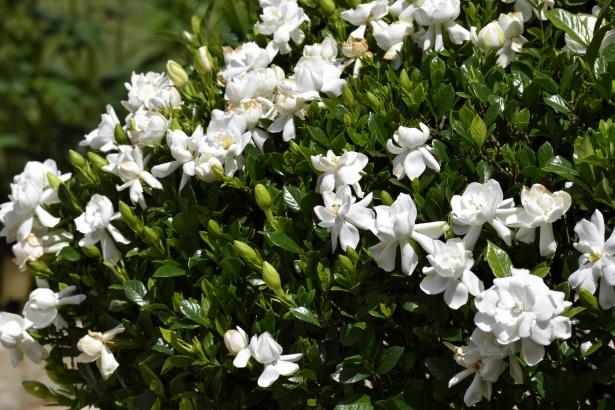 planta de interior con flor gardenia