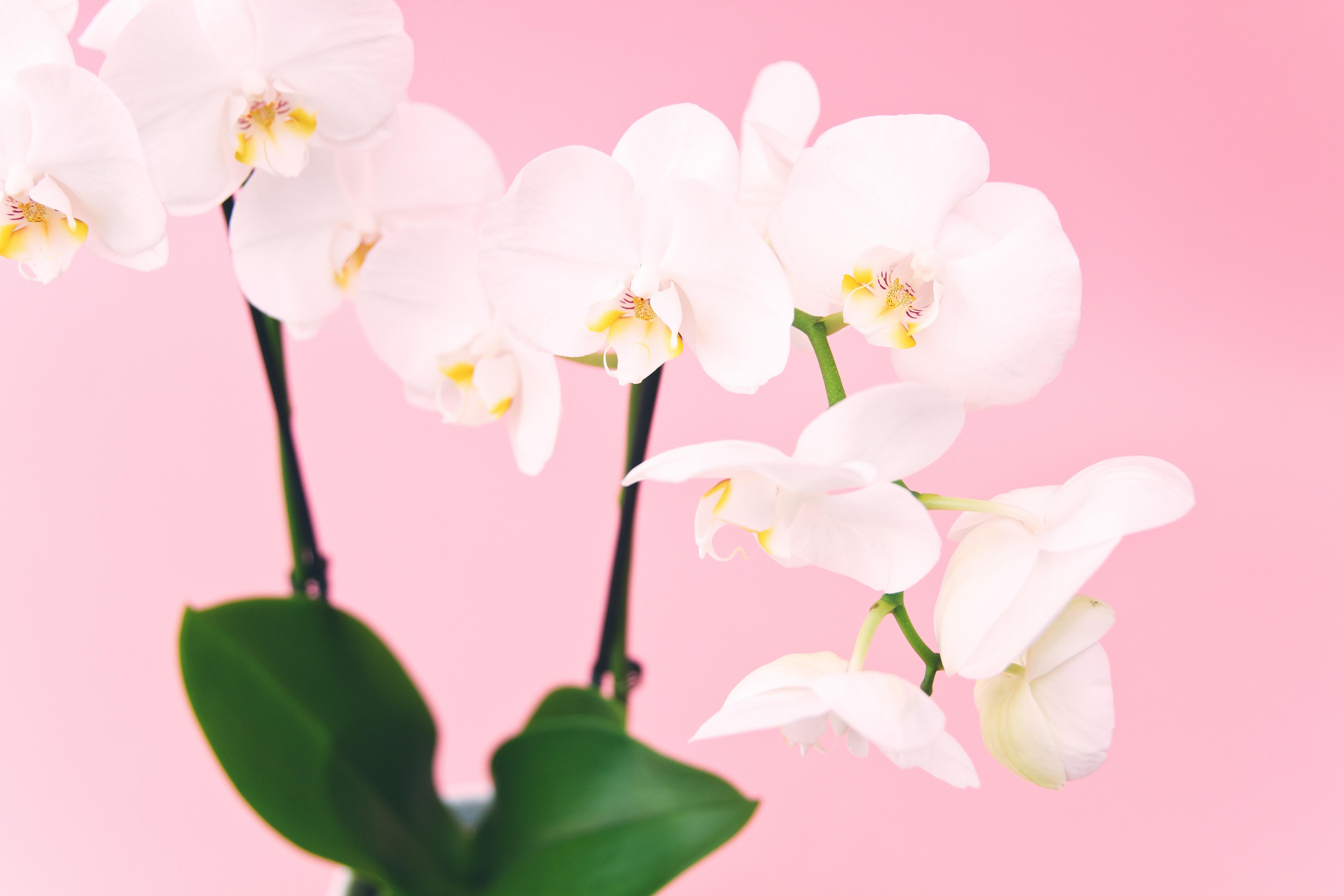 plantas de interior con flor orquídea
