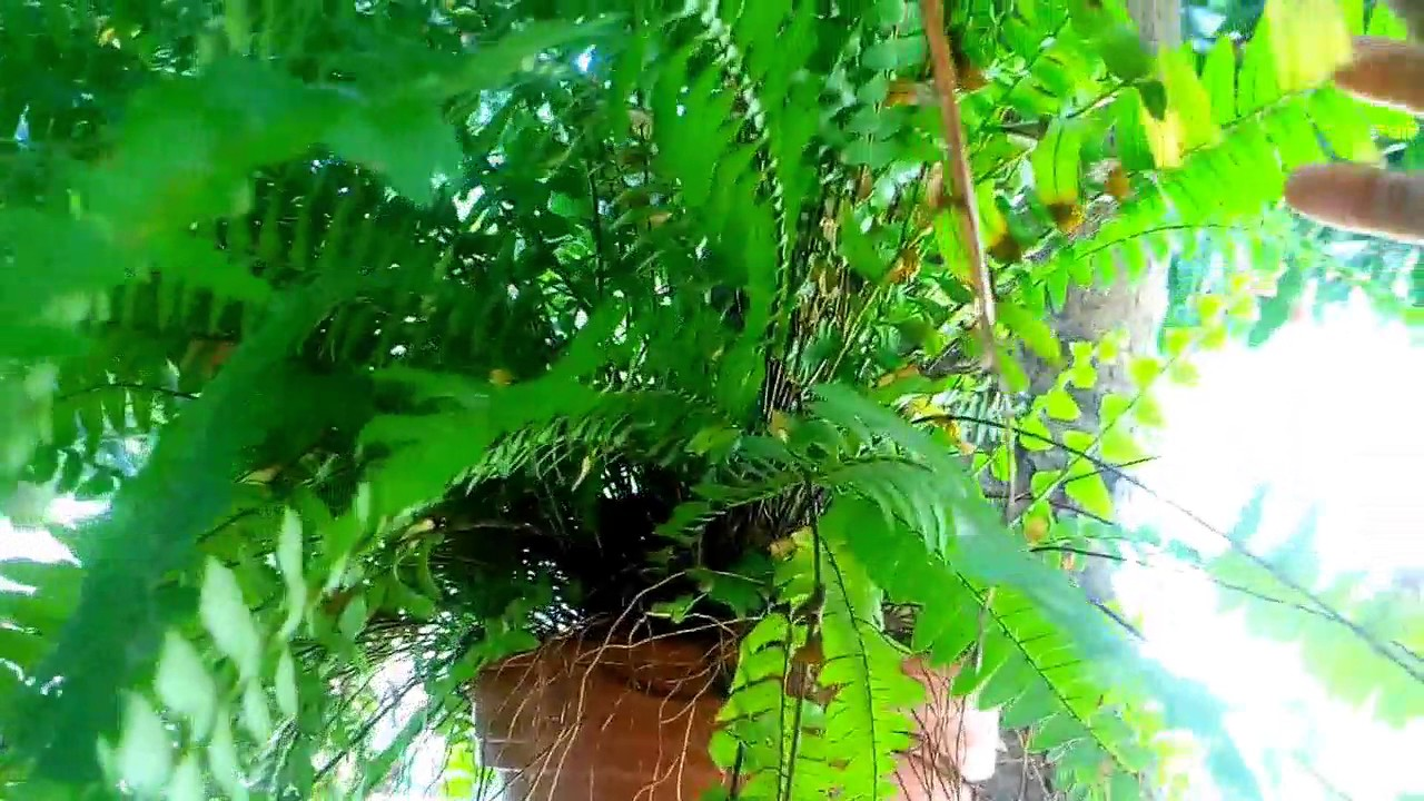 Helecho Plantas Colgantes