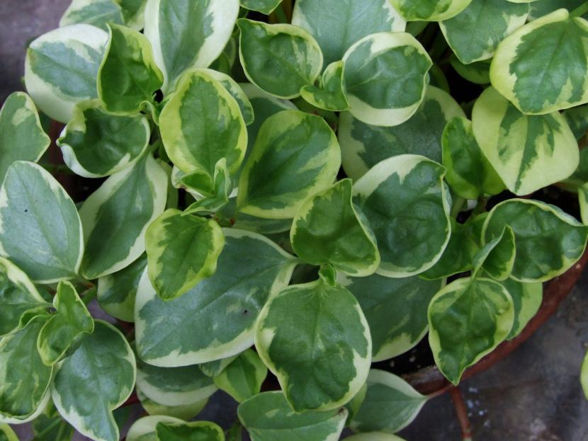 Peperomia Plantas Colgantes